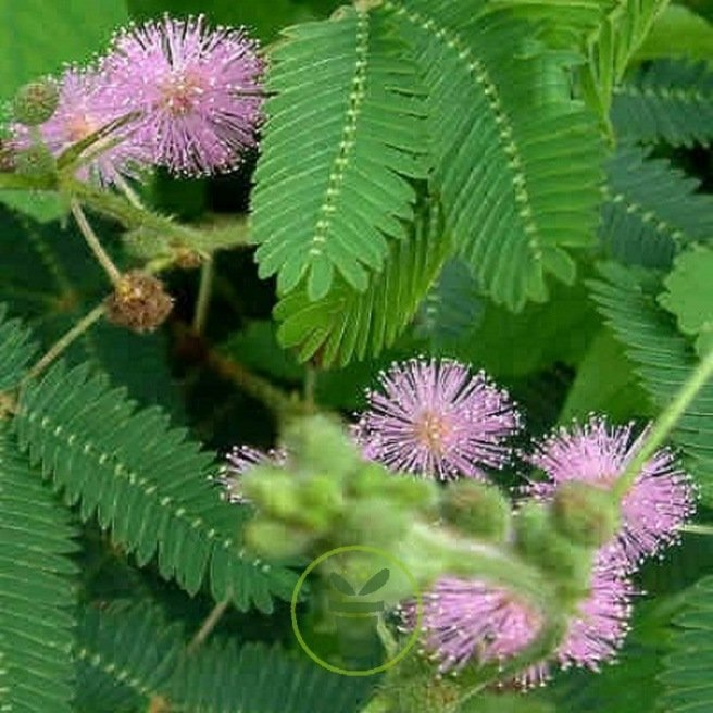 MIMOSA PUDICA SENSITIVE 50 graines