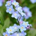 Myosotis des Alpes Victoria bleu 600 graines
