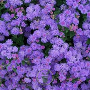 Ageratum houstonianum Blue Ball graines