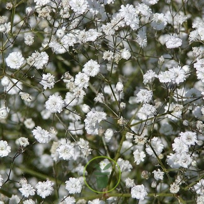 Gypsophile Paniculata Snow Flake double blanc 600 graines