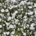 Gypsophile Paniculata Snow Flake double blanc 300 graines