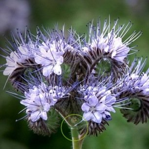 Phacélie tanacetifolia bleu clair