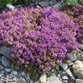 Fleurs / Plantes couvre-sol