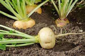 Acheter et semer des graines de navet au potager