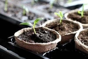 Semis de graines de légumes au potager en avril
