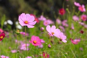 Semer des graines de cosmos au jardin pour attirer les abeilles
