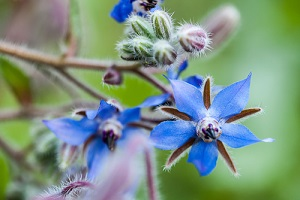 Semer et cultiver des graines de bourrache officinale au jardin