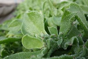 Semer et cultiver la ficoïde glaciale au potager