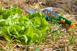 Semis de légumes et paillage durant le mois de mai, vente de graines potagères