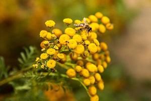 Semer et cultiver la fleur de tanaisie pour ses nombreuses vertus