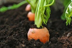 Acheter des graines de carottes à semer au potager