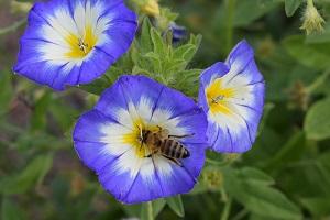 100 graines Fleurs BELLE DE JOUR Convolvulus tricolor