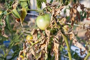 Comment prévenir et traiter le mildiou, fongicides bios contre les maladies