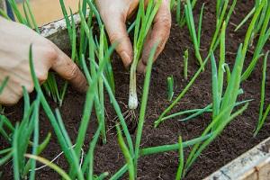semer et cultiver des graines de légumes et de fleurs en juin