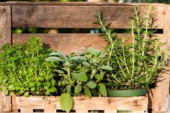 Acheter des graines de plantes aromatiques à semer