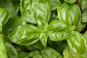 Semer et cultiver différentes variétés de basilic en pot ou en pleine terre