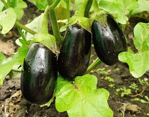 Récoltes et entretien de votre potager en août, conseils et vente de graines de légumes