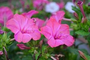 Semez La Belle De Nuit Une Fleur Qui S Epanouit Le Soir