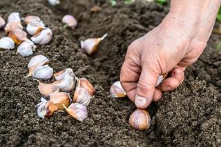 Quelles graines de légumes achetées en ligne semer ou planter au potager en octobre?