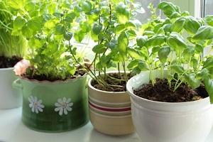 Acheter et semer des graines de plantes aromatiques à l'intérieur