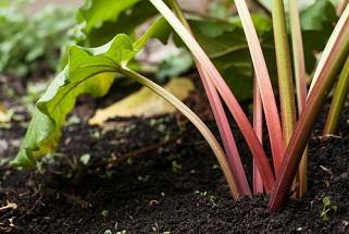 Acheter et semer des graines de rhubarbe pour le jardin potager