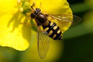 Comment attirer le syrphe et les insectes pollinisateurs au jardin?