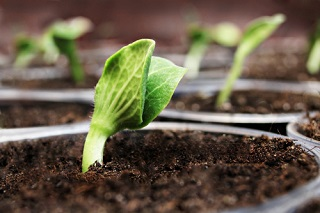 Comment semer les graines de potirons et cucurbitacées