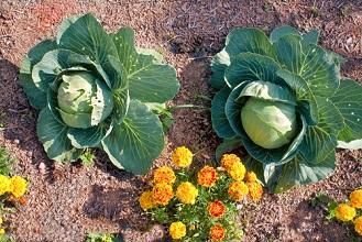 Quels semis et conseils de jardinage au potager en juin?