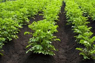 Buttage de légumes semés au potager, quelles variétés