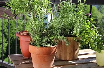 Semer des graines de plantes aromatiques au balcon en ville