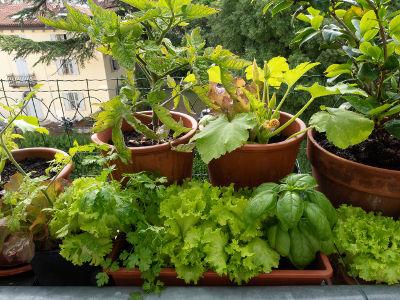 Légumes cultivés en pot sur un balcon en ville