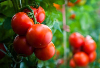 Récolte de tomates en septembre