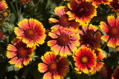 Fleurs gaillardes semées dans un jardin