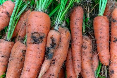 Carottes attaquées par le ravageur mouche de la carotte
