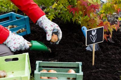 Plantation de bulbes printaniers en novembre au jardin