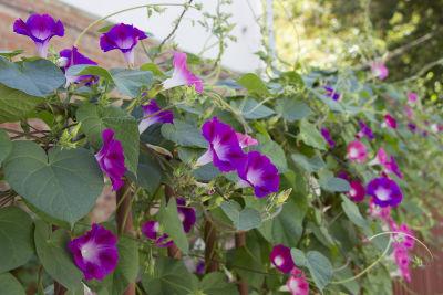 Ipomées fleuries et grimpant sur une clôture