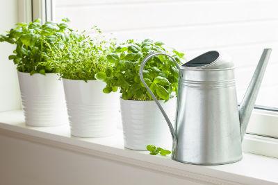 Semer des plantes aromatiques en janvier