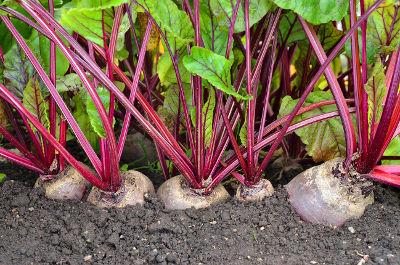 Betterave rouge cultivé au potager en pleine sècheresse
