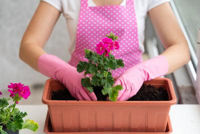 Femme plantant des géraniums en janvier