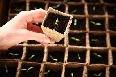 Des plantules sortant de terre, vulnérable à la fonte des semis
