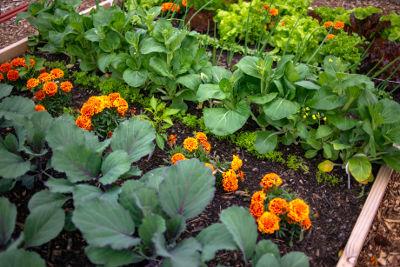 Association de fleurs et légumes dans un potager en permaculture