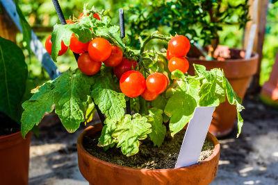 Tomates semées et cultivées en pot