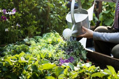 Un jardinier qui arrose efficacement son potager