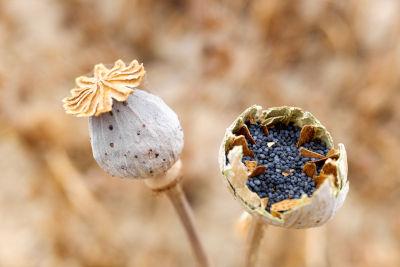 Graines de pavot à récolter