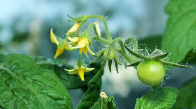 Fleurs de tomates en juin à pincer