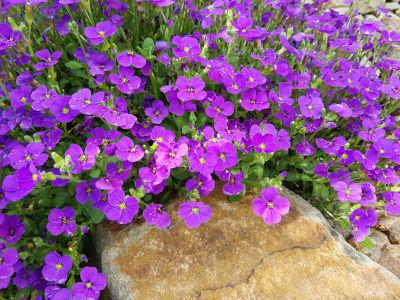 Semer de l'aubriète comme fleurs couvre-sol en terrain rocailleux