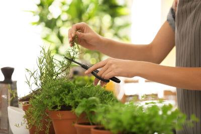 Semer des plantes aromatiques