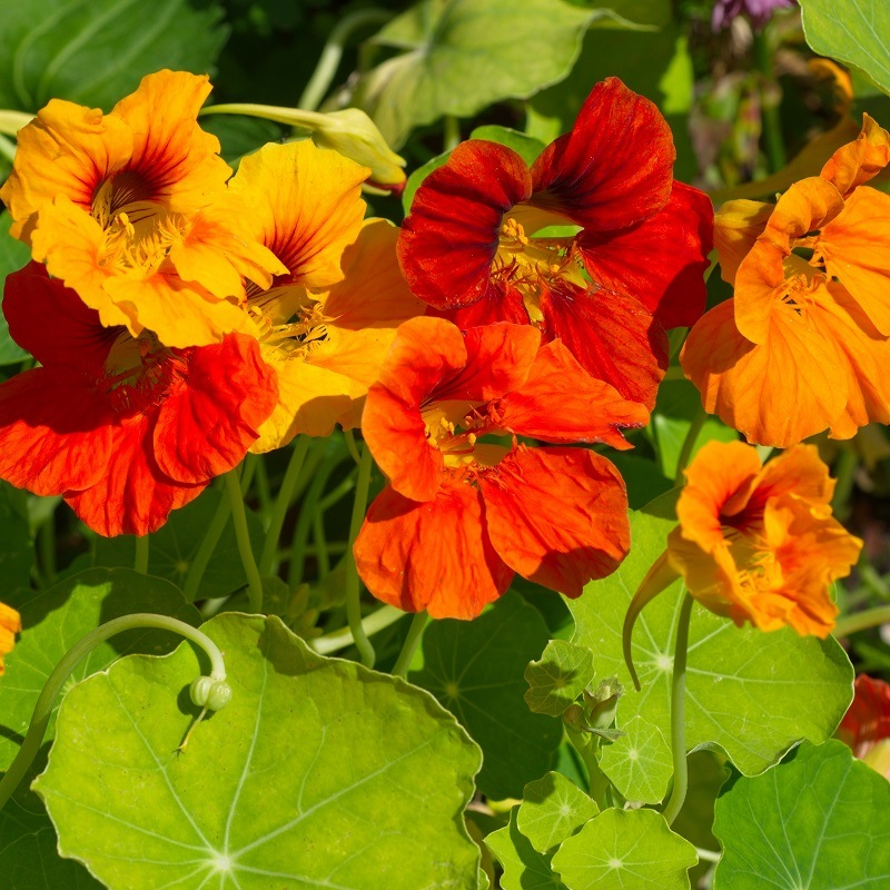 Capucine à grande fleur variée