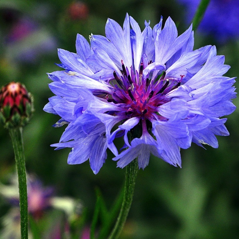 Centaurée cyanus Blue Ball - Bleuet